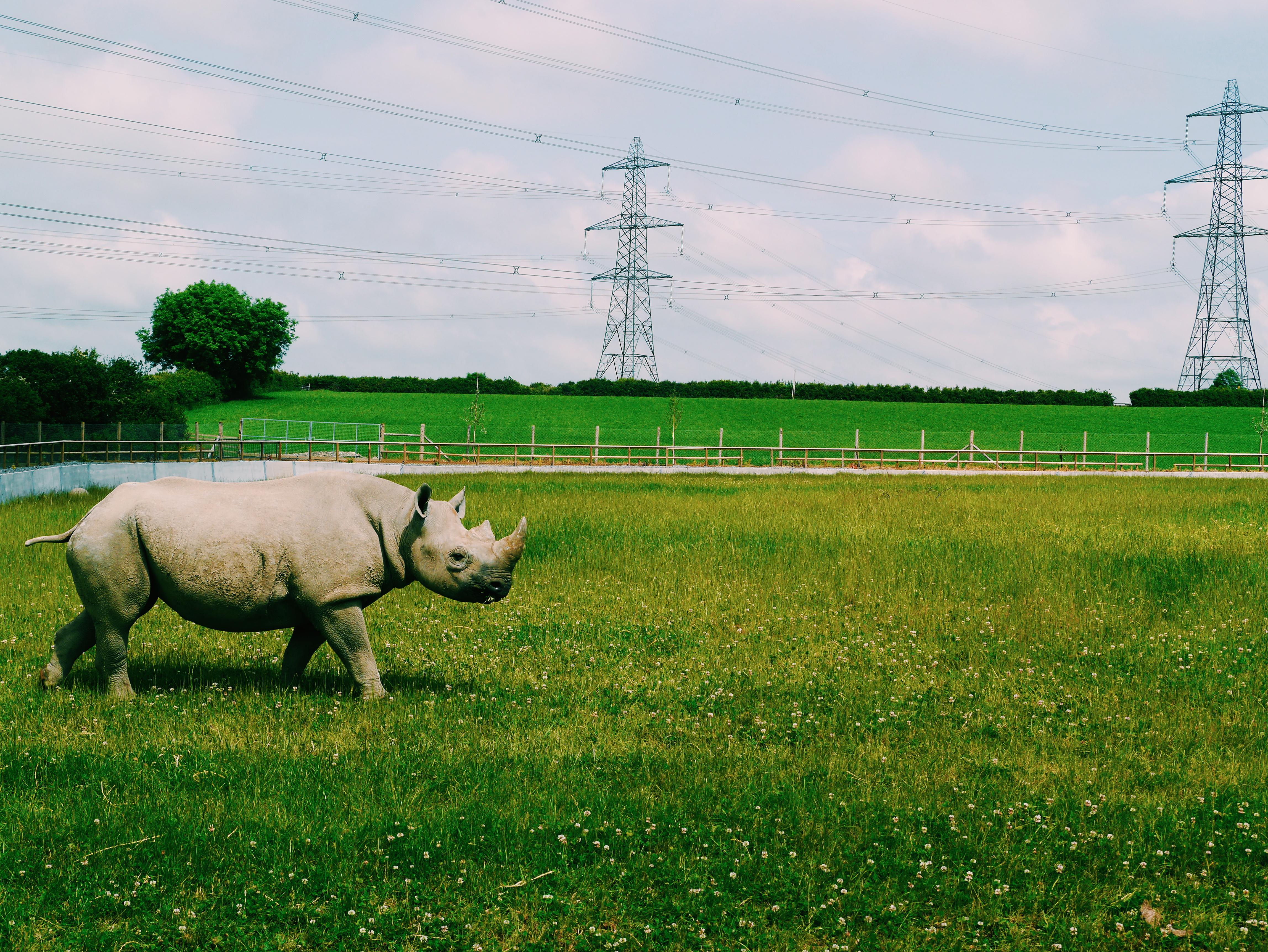 Folly-farm-Rhino