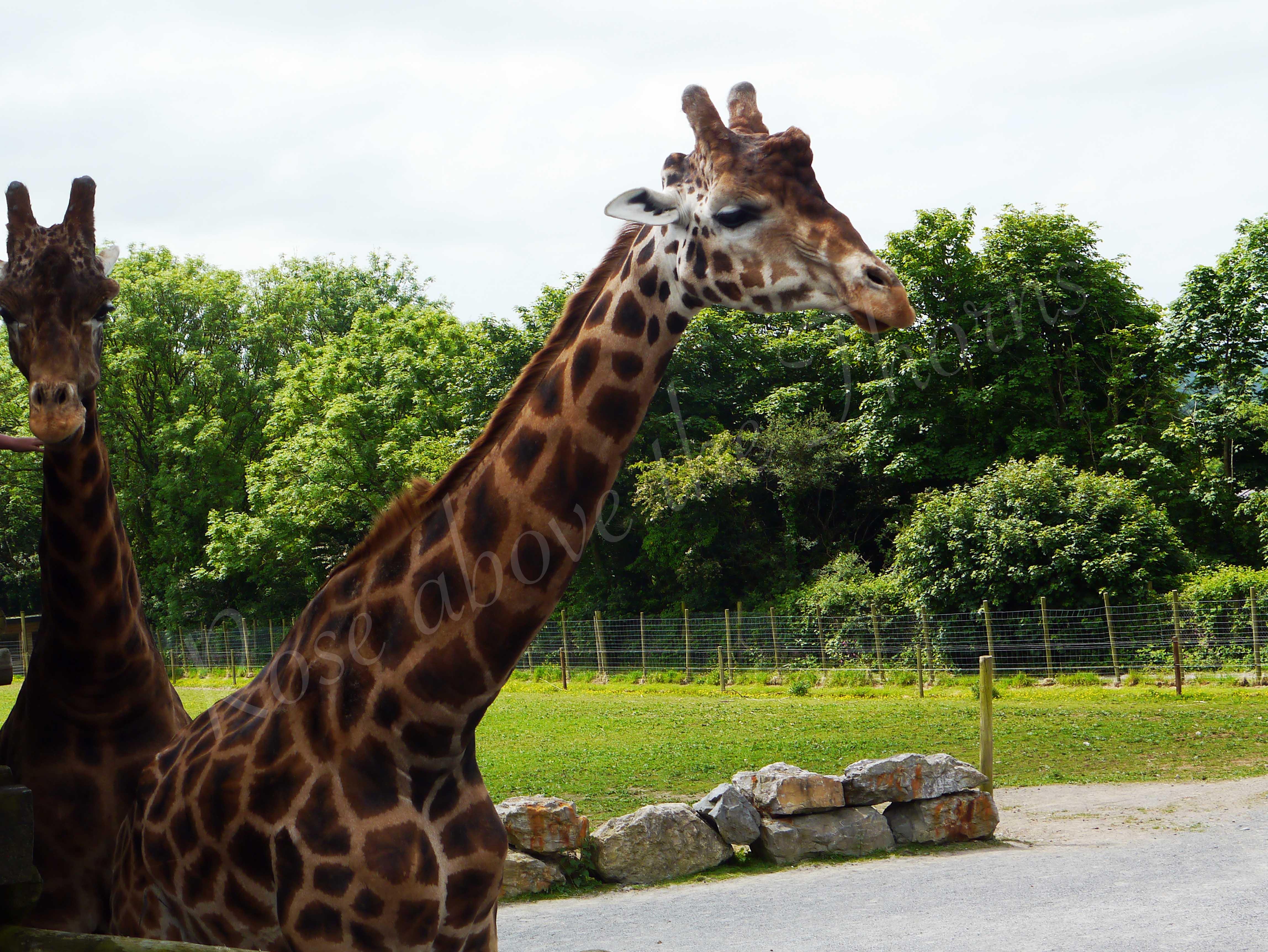 Giraffe-edit