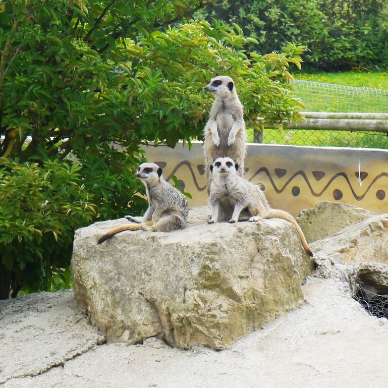 Folly-farm-meerkats